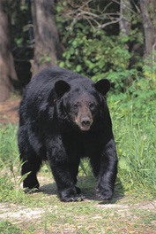 Xx_black_bear_large